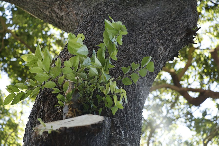 A new branch sprouts out of the side of the tree where it was previously cut.